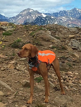 A Vizsla in the mountains wearing a jacket